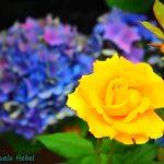Rose gelb Hortensie blau