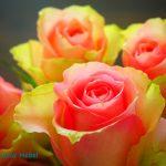 Esperanza Rose