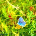 Himmelblauer Bläuling Polyommatus bellargus