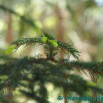 Hartelholz, Fichtengrün